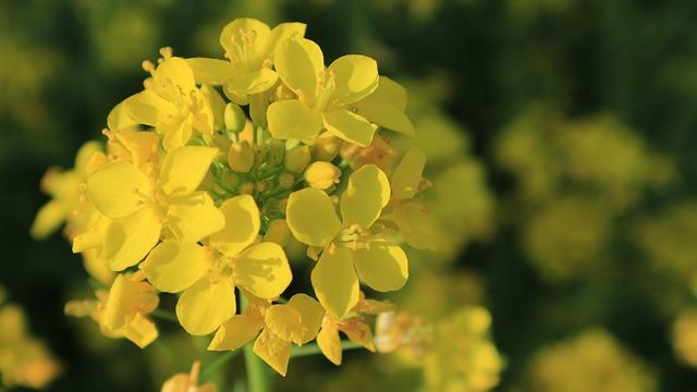 Rape Flowers, Flowers, Yellow Flower, Yellow, Tourism