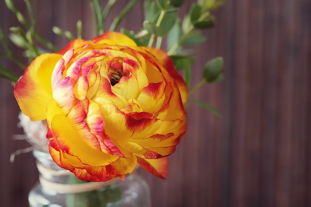 Ranunculus, Flower, Blossom, Bloom, Petals, Yellow, Red