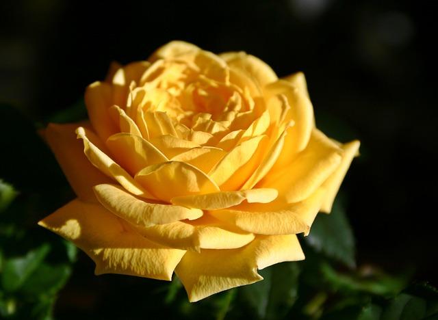 Rose, Flower, Blossom, Bloom, Rose Bloom, Yellow, Bloom