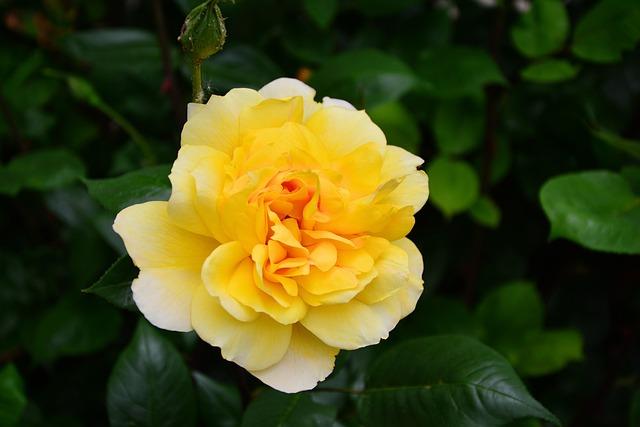 Rose, Yellow Rose, Blossom, Bloom, Rose Blooms, Petals