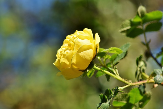 Rose, Yellow Rose, Rose Bloom, Garden Rose