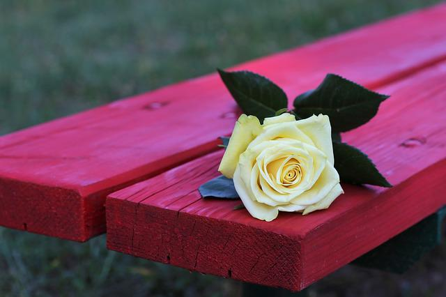 Yellow Rose On Red Bench, Rosa Foetida, Flower