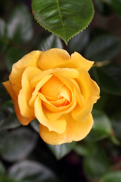 Flower, Pink, Yellow, Garden, Rosebush, Petals