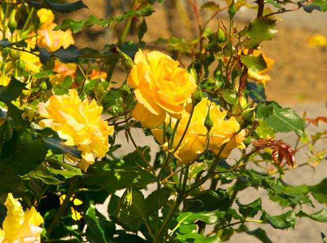 Roses, Yellow, Yellow Rose, Bright Yellow, Garden Rose