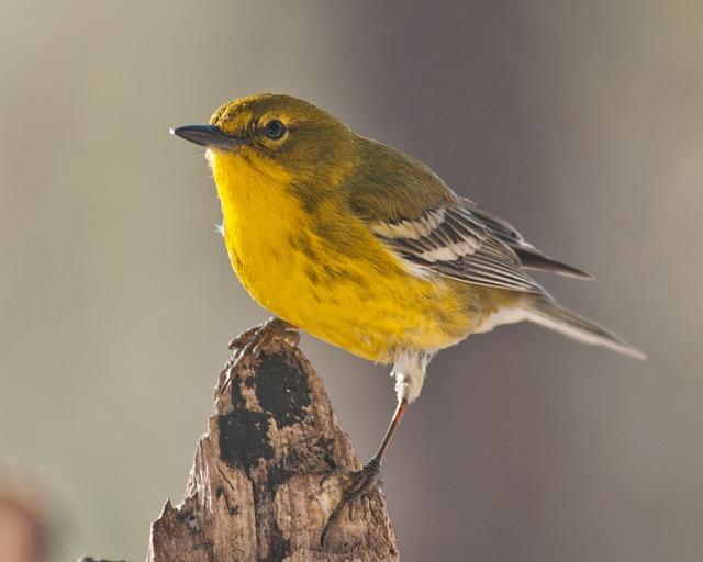 Pine Warbler, Warbler, Bird, Nature, Songbird, Yellow