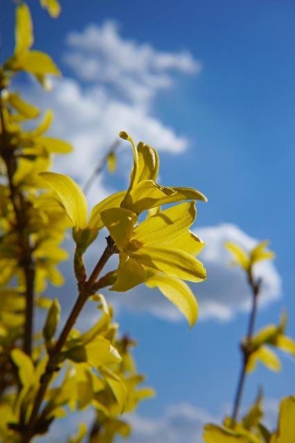 Laburnum, Spring, Nature, Bloom, Yellow
