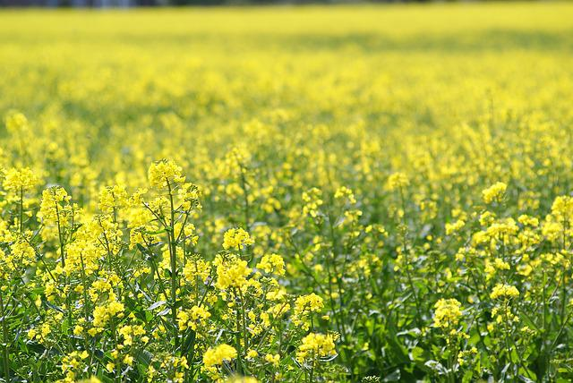 Spring Meadow, Rape Blossom, Yellow, Bright
