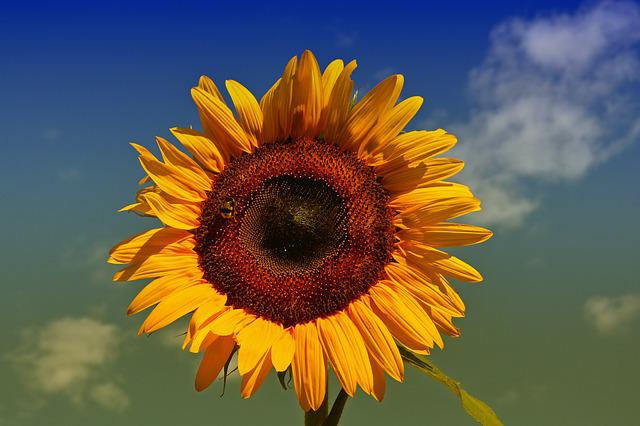 Sun Flower, Yellow, Sun, Summer, Flower, Garden, Bee