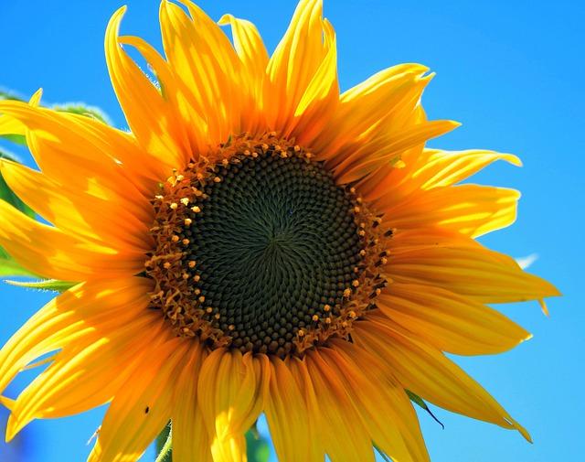 Yellow Sunflower, Flower, Round, Yellow, Bright