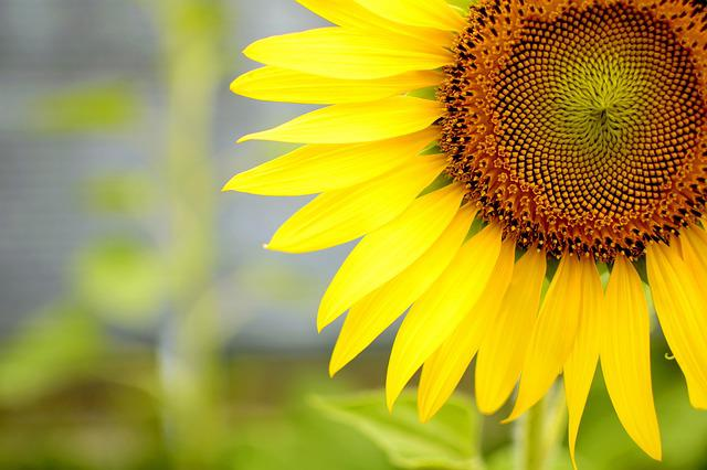 Flower, Sun, Sunflower, Summer Flower, Summer, Yellow