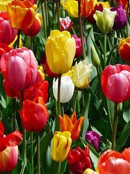 Tulip, Yellow, Yellow Tumor, Tulips, Tulpenbluete