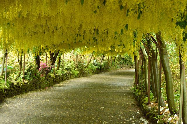 Laburnum Arch, Flowers, Yellow, Wales, Colored, Pathway