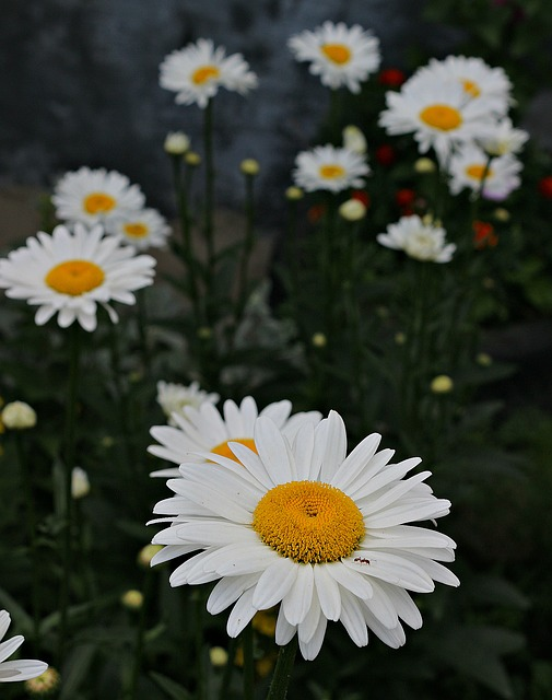 Chamomile, Ant, Bloom, Flowers, Green, Yellow, White