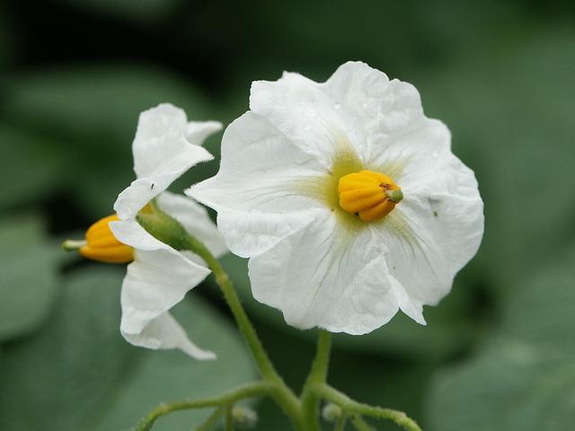 Potato Blossom, White, Green, Yellow