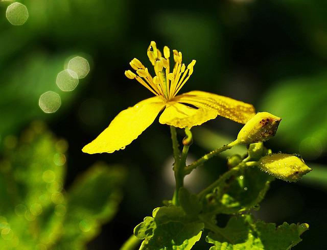 Wild Flower, Wild Herb, Morgentau, Yellow, Stamens, Bud