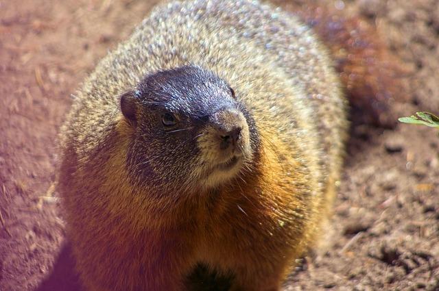 Marmota Flaviventris, Rock Chuck, Yellow-bellied Marmot