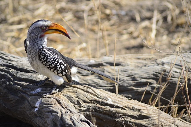 Yellow Hornbill, Nature, Bird, Africa, Yellow-billed
