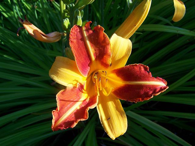 Daylily, Flower Garden, Yellow-orange-red Color