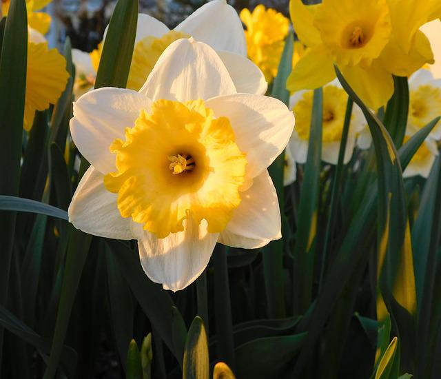 Narcissus, Yellow-white Narcissus, White Daffodil