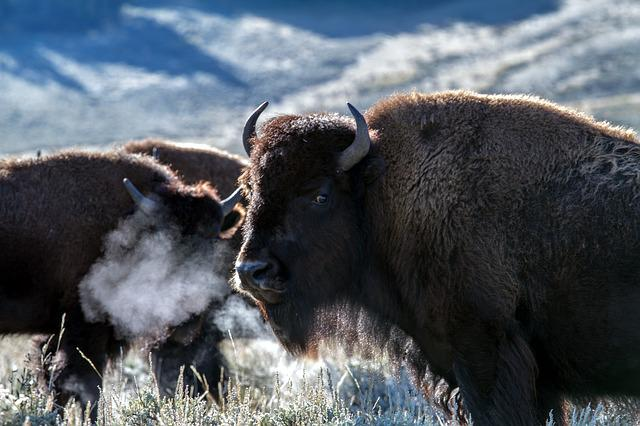 Free photo Head Animal Buffalo Mammal American Bison Prairie - Max Pixel