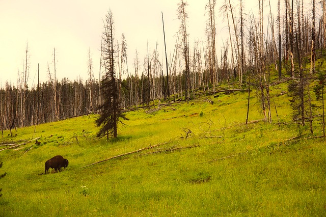 Yellowstone, National Park, Wyoming, Bison, Buffalo