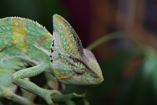 Sleeping Chameleon, Yemen Chameleon, Reptile, Animal