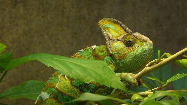 Animal, Reptile, Chameleon, Yemen Chameleon, Green