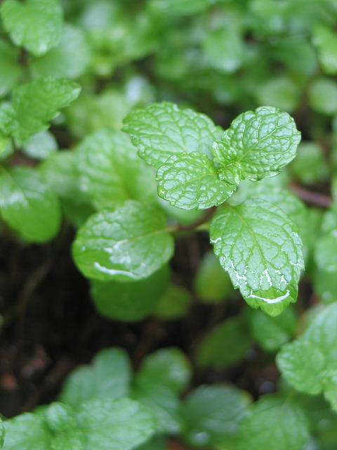 Mint, Herbs, Mentha Spicata, Yerbabuena, Aromatic Herb