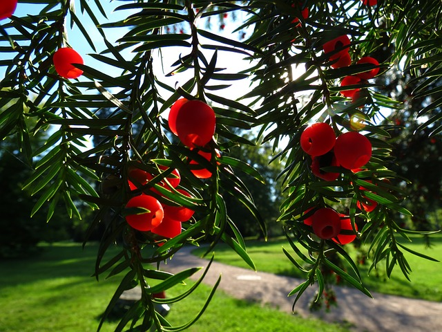Yew, Conifer, European Yew, Poisonous Plant, Yew Fruit