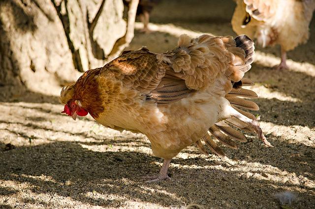 Chicken, Gymnastics, Yoga, Species, Bird, Egg
