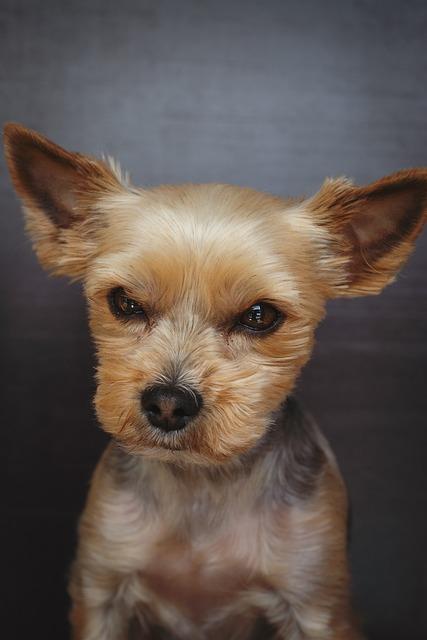 Dog, Yorki, Terrier, Yorkshire Terrier, Animal, Pet