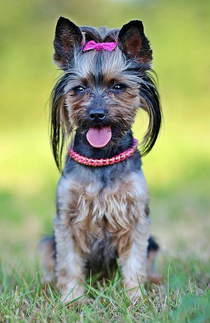 Yorkie, Dog, Beauty, Sitting