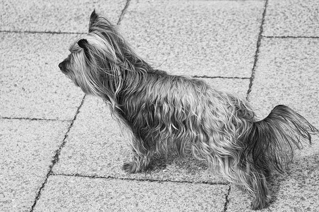 Dog, Yorkshire, Small Dog, Domestic Animal, Pet, Doggie