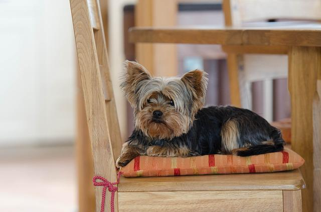 Yorkie, Yorkshire Terrier, Cute, Dog
