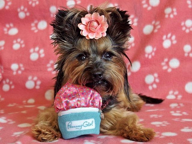 Yorkshire Terrier, Dog, Pretty, Lie