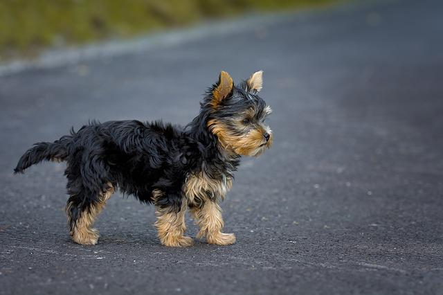 Dog, Puppy, Yorkshire Terrier, Yorkshire Terrier Puppy