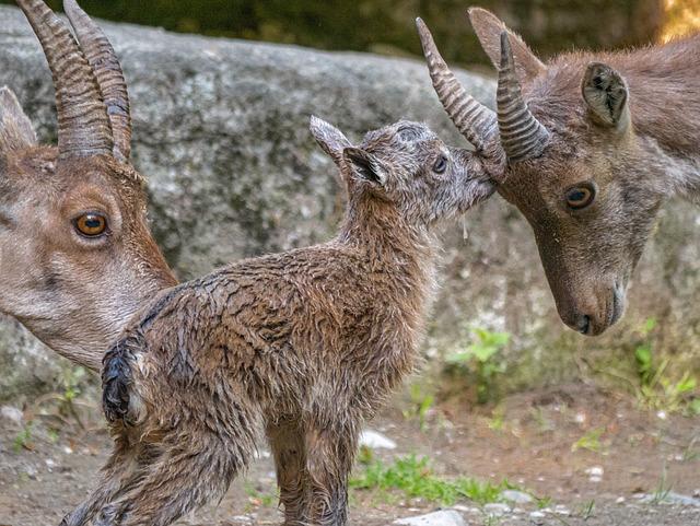 Ibex, Capricorn Kitz, Young Animal, Capricorn Baby