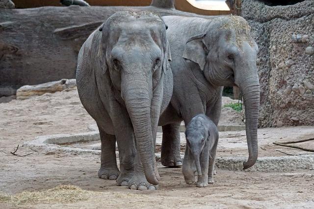 Asian Elephant, Young Animal, Mammal, Elephas Maximus