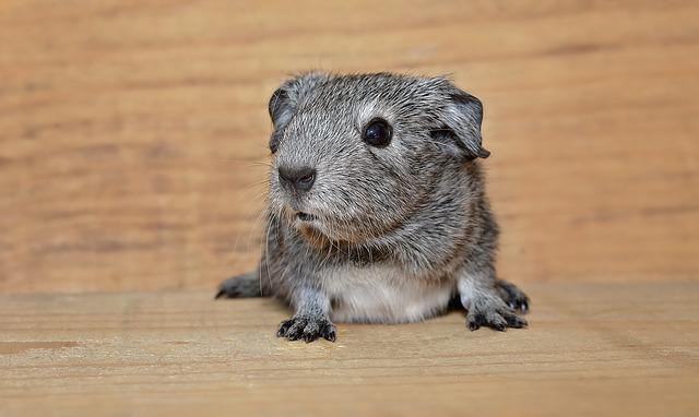 Guinea Pig, Smooth Hair, Young Animal