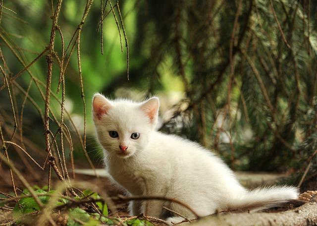 Cat, Kitten, Young Animal, Wildcat, White Cat, Mammal
