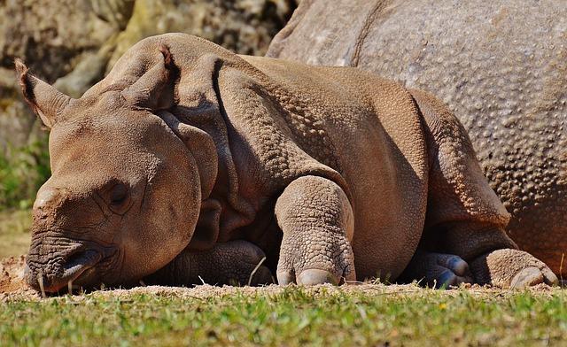 Rhino, Young Animal, Wild Animal, Mammal, Nature