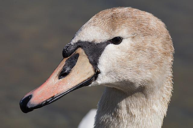 Swan, Young Animal, Bird, Animal World, Nature, Neck