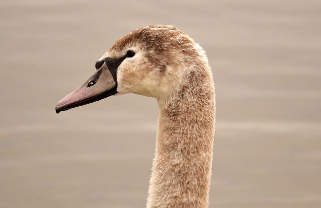 Swan, Young Animal, Cygnet, Water Bird, Water, Bird