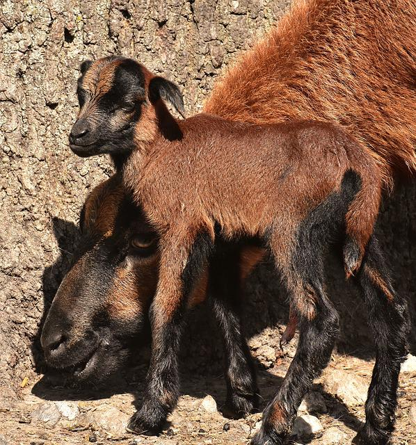 Sheep, Wildpark Poing, Reborn, Young Animal, Newborn