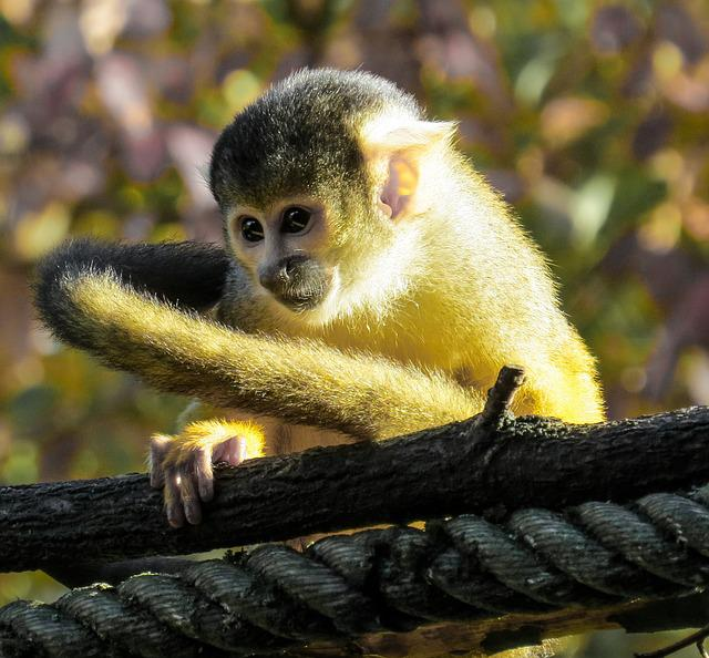 Monkey, Capuchin, Close Up, Cute, Young, Young Animal