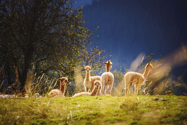 Crias, Llamas, Field, Alpacas, Animals, Young Animals