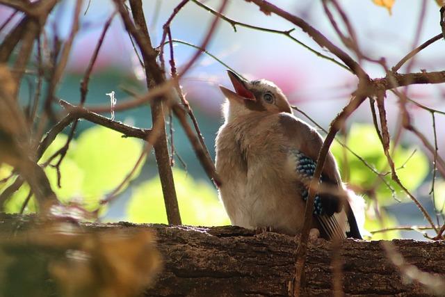 Jay, Young Bird, Begging, Songbird, Raven Bird