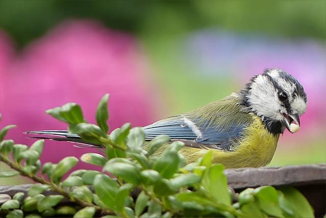 Tit, Blue Tit, Cyanistes Caeruleus, Bird, Young