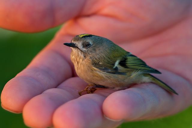 Goldcrest, Bird, Animal, Small Bird, Young Bird, Small