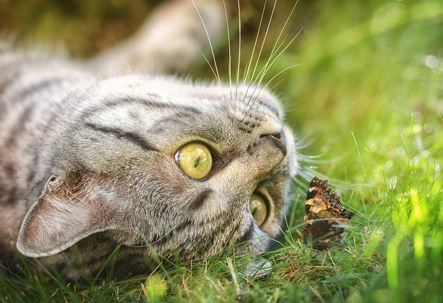 Cat, Butterfly, Domestic Cat, Young Cat, Pet